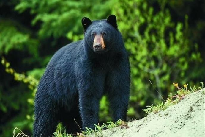 black bear_-8374904132834868840