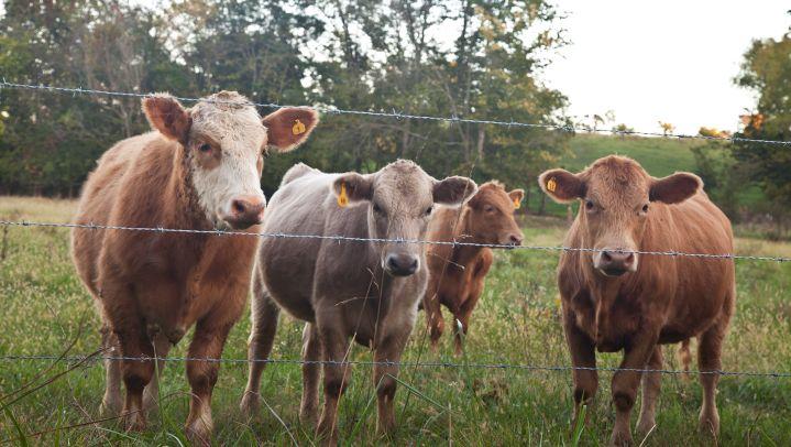 cattle_1449761412347.jpg