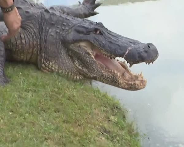 Giant Gator Caught in Texas_36209247-159532