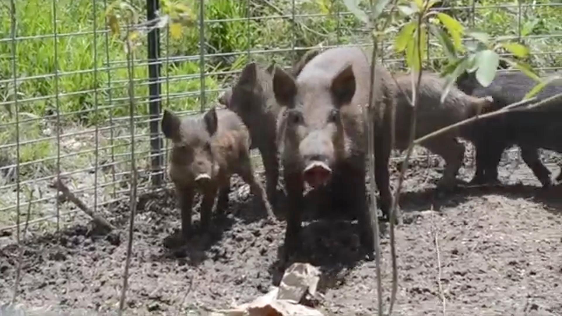 feral hogs pin
