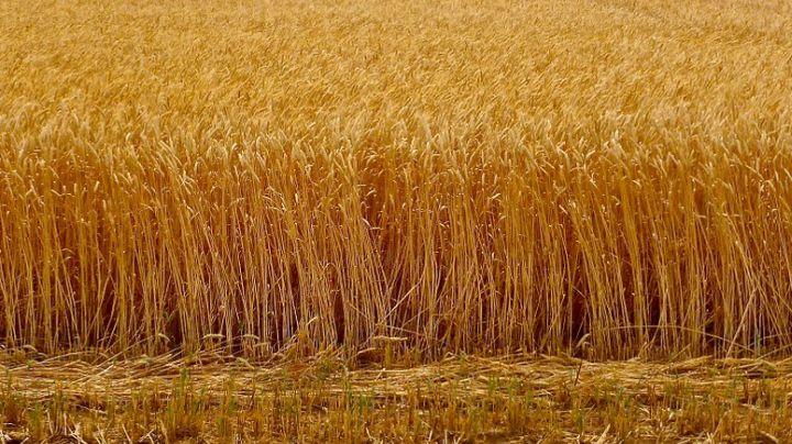 wheat crop_1476445144956.jpg