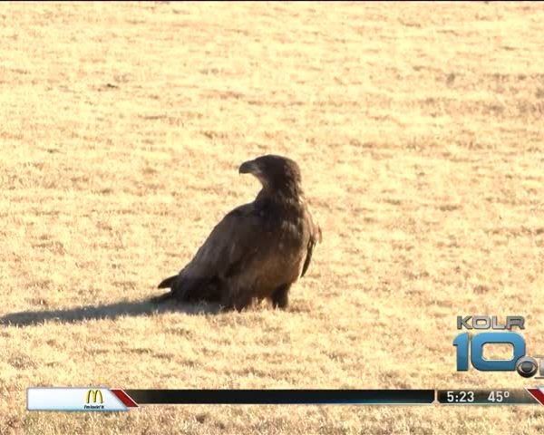 Bald Eagle Released Into Wild at Lake Springfield_74243808