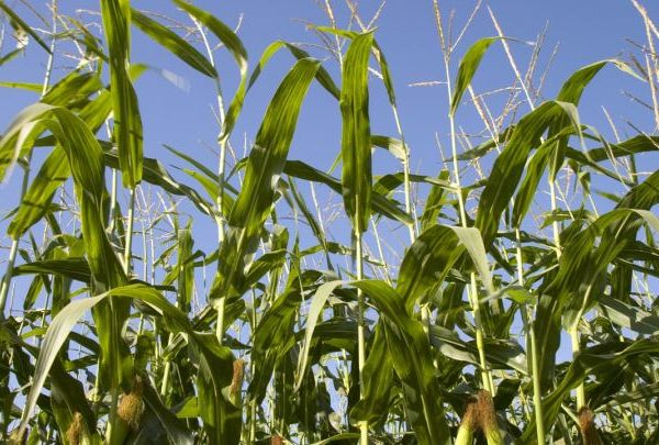 agriculture - corn fields