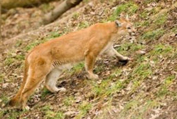 mountain lion MDC_1485537878301.jpg