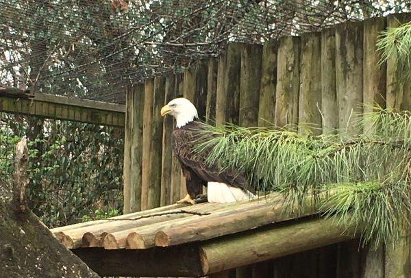bald eagle_1490649123202.jpg