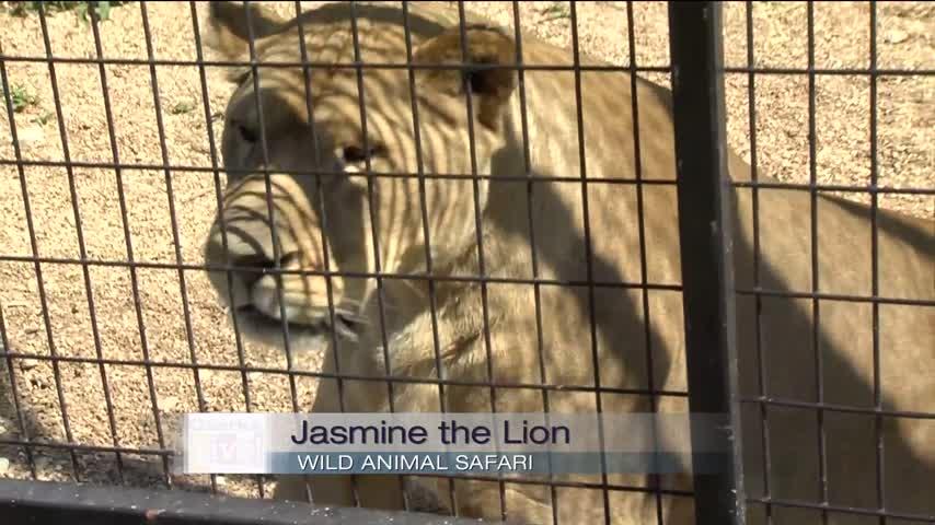 Wild Animal Safari - Lion - 5/17/17