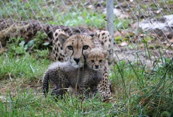 cheetah cubs_1497985767872.jpg