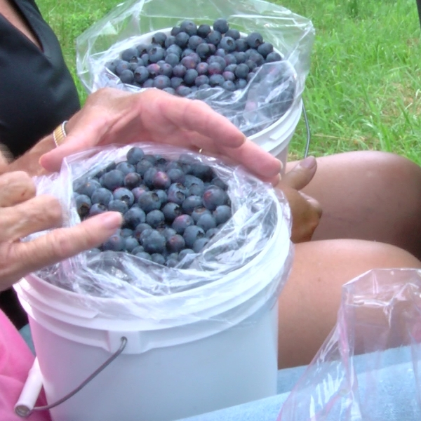 u pick blueberries_1497526389688.jpg