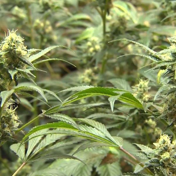 marijuana_1498123756031.jpg