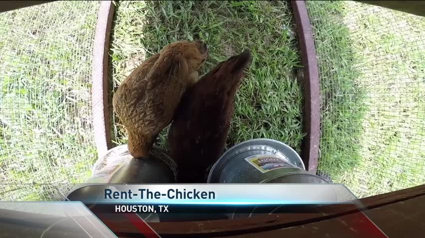 Houston Farm Lets You Rent Chickens_13433995