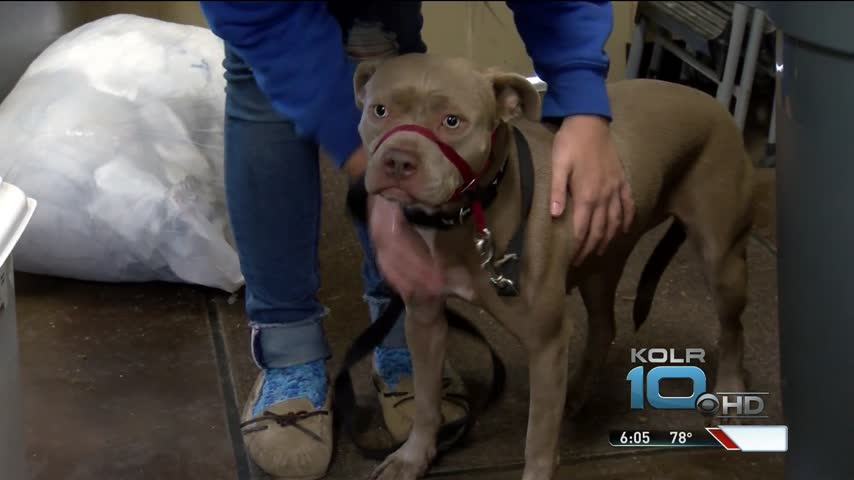 Pit Bull Owners Could See Stricter Rules_99191701