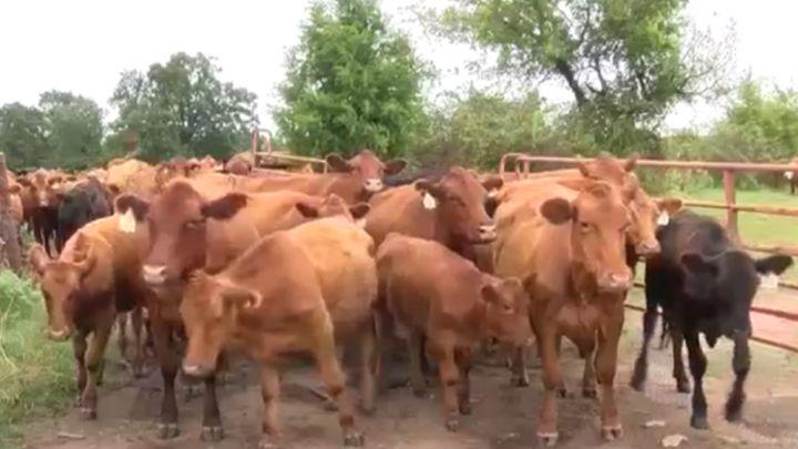 livestock_cows arkansa_1502060587107.jpg