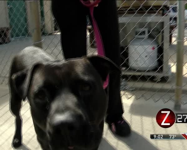 City to Discuss Changes to Pit Bull Ban Proposal_93393521