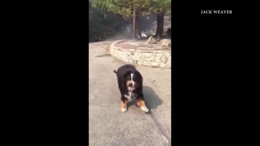 Dog Found Alive in Rubble of California Wildfire_39902547