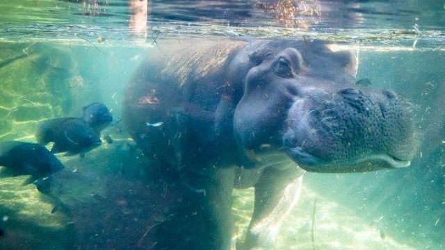 Henry the Hippo CZ_1509438737114.jpg