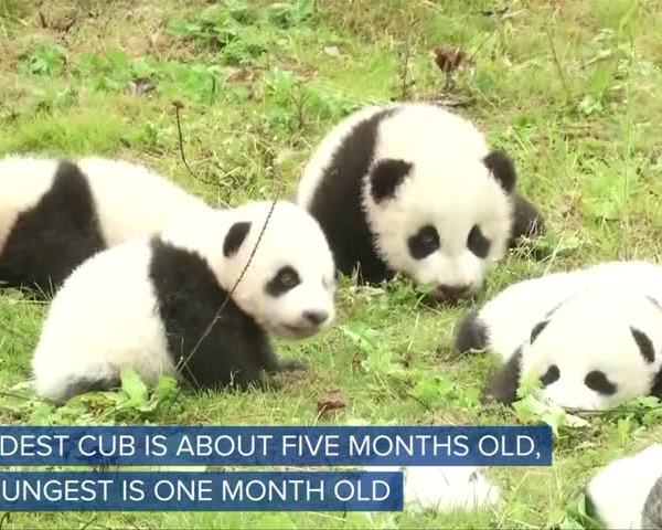WEB EXTRA Giant Panda Cubs First Appearance_52066910