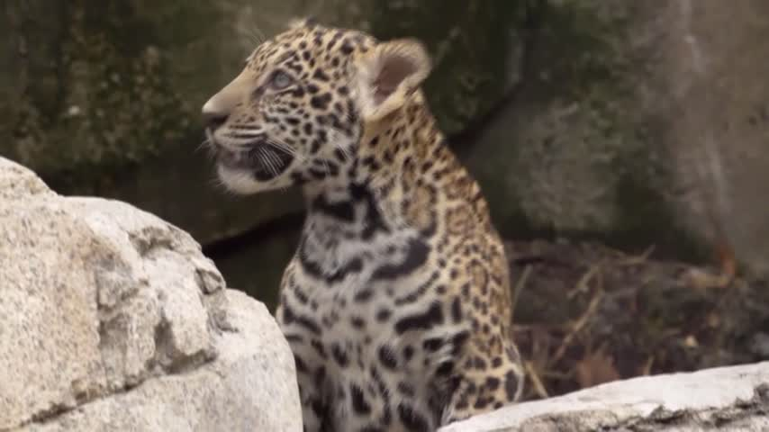 Jaguar Cubs Debut_99093467
