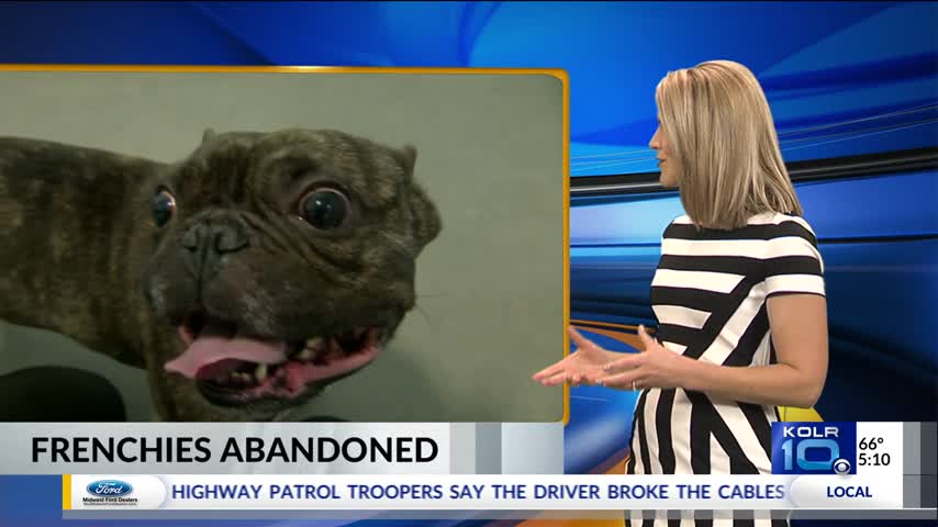 Why French Bulldogs are Getting Abandoned_74719693
