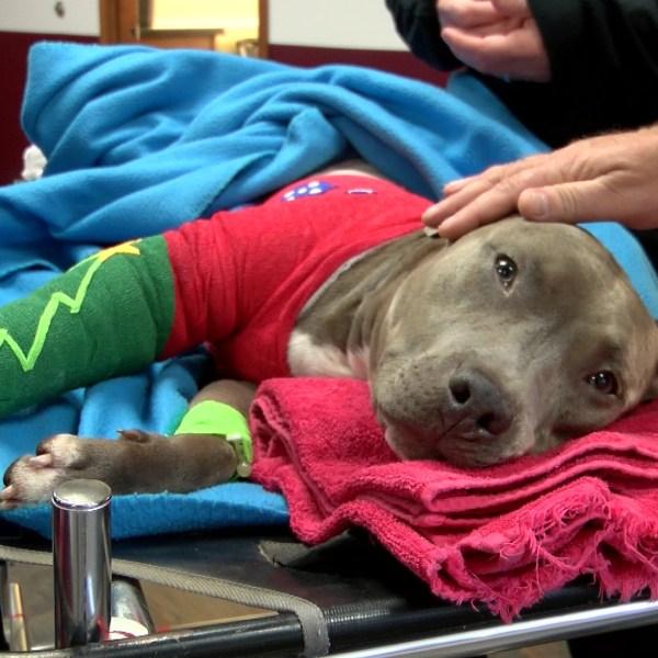 injured pit bull_1513098251842.jpg