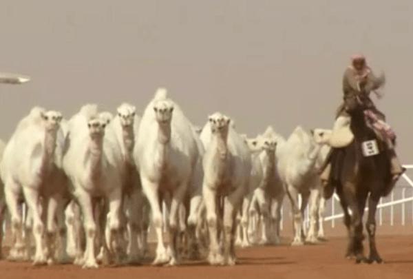 Camels_1516823314943.png