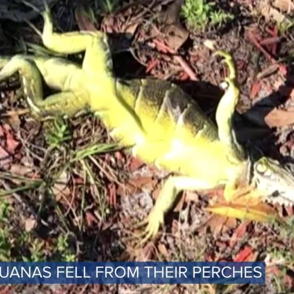 Reptiles in Florida Stunned by Cold Weather