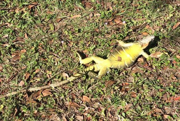 frozen iguanas_1515121688682.jpg.jpg