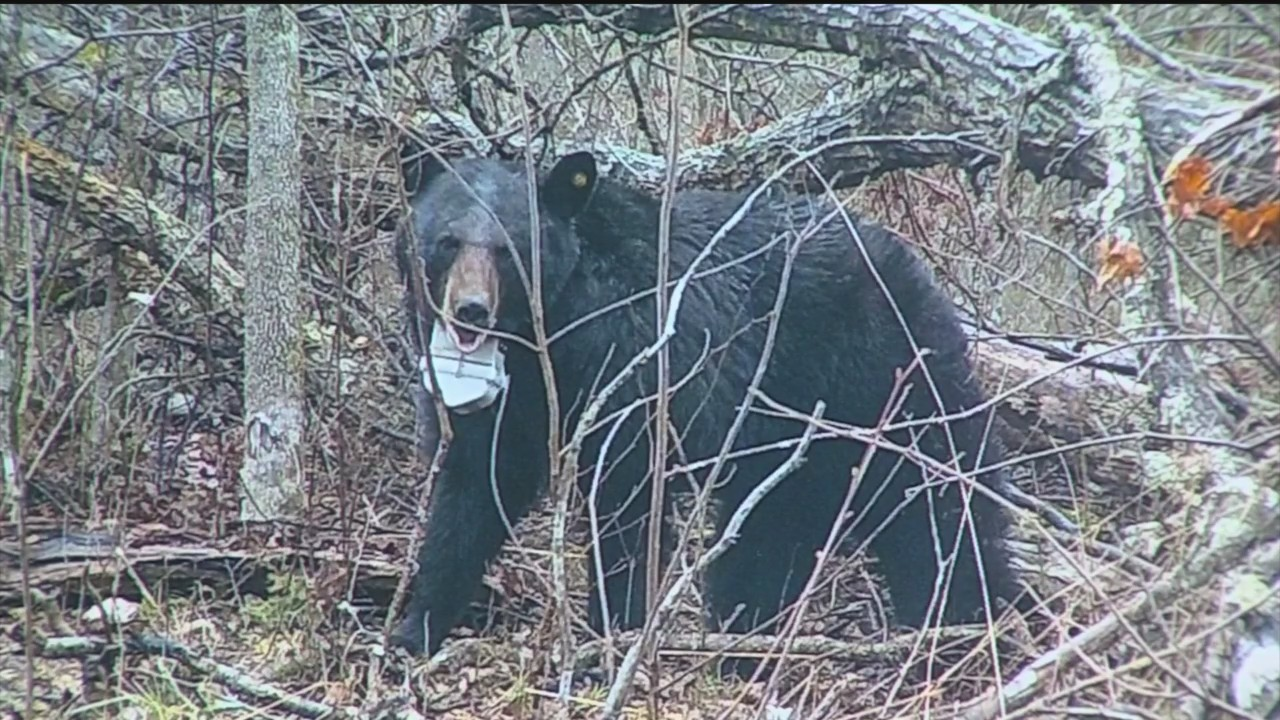 Missouri_Black_Bear_Population_Rising_0_20180523032414