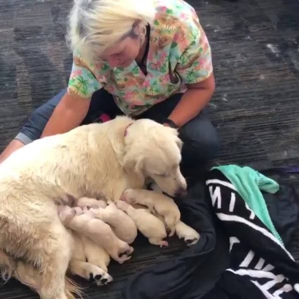 Service_Dog_Goes_Into_Labor_at_Tampa_Int_0_20180526205551