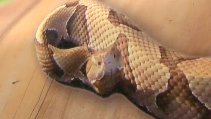 snakes knwa_1526154237653.jpg.jpg