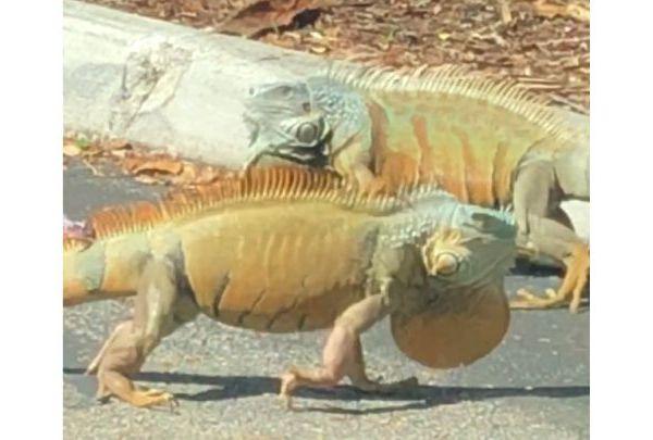 iguanas_1529881146747.jpg