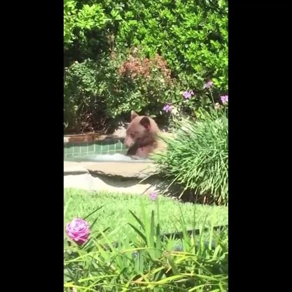 WEB_EXTRA__Bear_Sits_in_Hot_Tub__Drinks__0_20180705183400