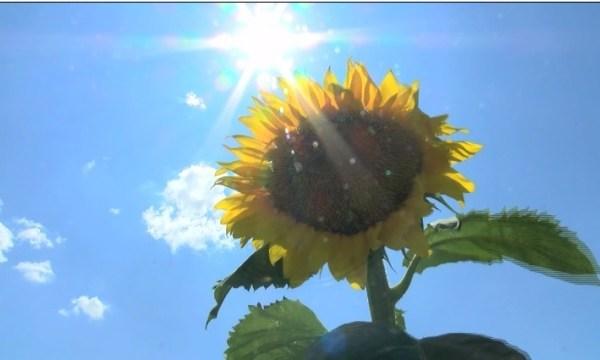 Kansas_Sunflower_Field_Growing_Into_Popu_0_20180803123457