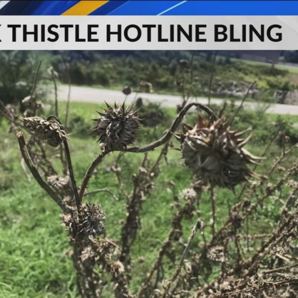 Musk_Thistle_in_the_Ozarks_0_20180907115308