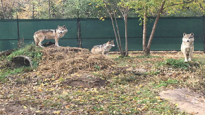 Dickerson Park Zoo wolves