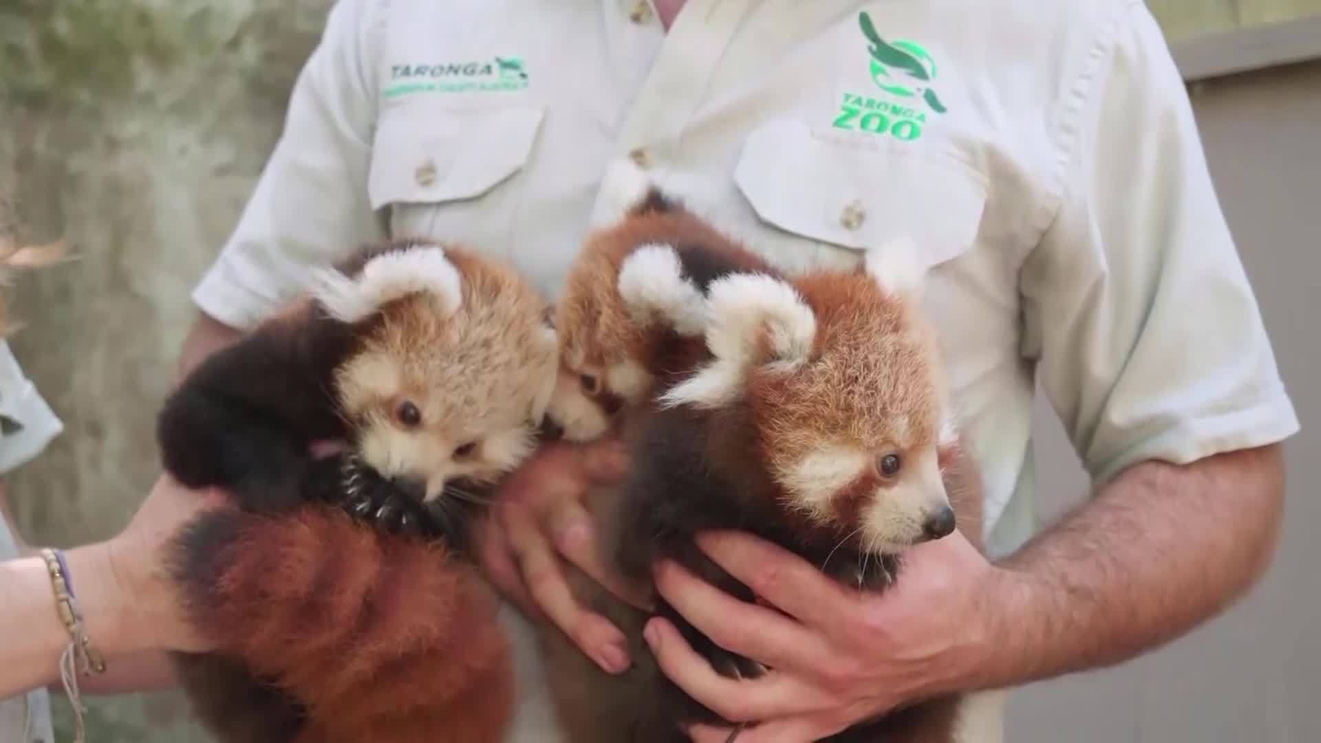 3_Red_Panda_Cubs_Born_in_Australian_Zoo__3_20190310164141