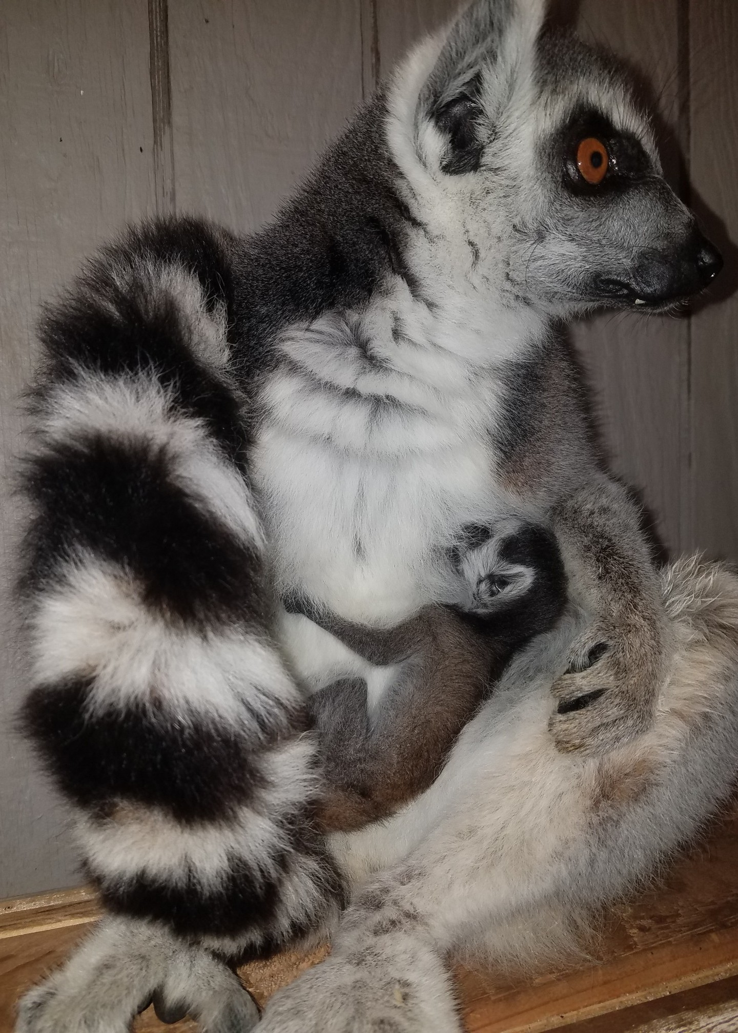 Lemur_1555096781080.JPG