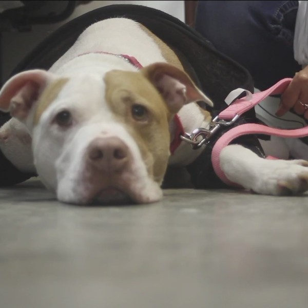 Penny's Plea: This Resilient Dog Needs a Forever Home