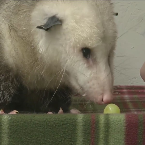 What to do if you hit an Opossum