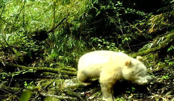 cbsn-fusion-first-ever-photo-of-white-albino-panda-revealed-thumbnail-1860119-640x360_1559081051221.jpg